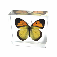 Yellow Orange Tip Butterfly Paperweight