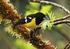 Black backed Grosbeak - Pheucticus aureoventris