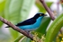 Black faced Dacnis - Dacnis lineata