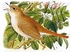 Common Nightingale - Luscinia Megarhynchos