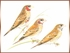 Cut throat Finch - Amadina fasciata