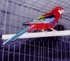 "Fiery Golden Mantle Rosella - Platycercus Eximius (11.8"")"