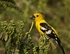 Golden bellied Grosbeak - Pheucticus chrysogaster