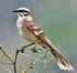 "Long-tailed Mockingbird (10.5"") - Mimus longicaudatus"