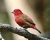 Red-billed Firefinch - Lagonosticta senegala