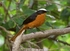 White crowned Robin Chat - Cossypha albicapilla