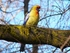 Yellow Crimson Rosella