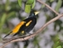 Yellow rumped Cacique - Cacicus cela