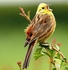 Yellowhammer - Emberiza citrinella <BR><B><FONT COLOR=RED>(Not For Sale In California)</FONT></B>