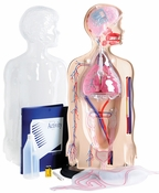 Torso Model - Functioning Systems	by American Educational Products