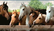 Horses at Fence Wallpaper Border BH1803b