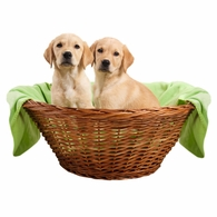 Golden Puppies in a Basket Shirts