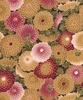 COLLETTE: Zinnias - Antique (1/2 Yd.)