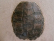 "Large Genuine Natural Turtle Shell 13"" (c)"