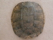"Large Genuine Natural Turtle Shell 13""  (e)"