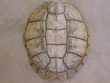 "Large Genuine Natural Turtle Shell 14""  (d)"