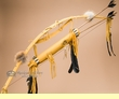 "Native American Bow & Choker Quiver 42"" -Gold  (B31)"