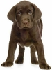 Chocolate Lab Pup Easy-Stick Wall Art Stickers