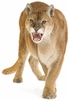 Cougar Easy-Stick Wall Art Sticker