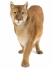 Cougar II Easy-Stick Wall Art Sticker