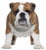 English Bulldog Easy-Stick Wall Art Sticker