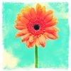 Orange Gerbera Daisy Canvas Wall Art