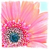 Pink Gerbera Daisy Canvas Wall Art