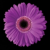 Purple Daisy Wall Art