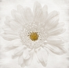 Shabby White Daisy Canvas Wall Art