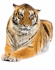Tiger at Rest Easy-Stick Wall Art Sticker