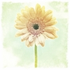 Vintage Gerbera Daisy Canvas Wall Art