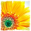Yellow Gerbera Daisy Canvas Wall Art