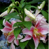 Cottage and Floral Studies