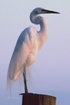 Egret at Sunset Giclee