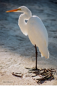 Egret in Blue Giclee