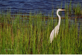 Evening Egret Giclee