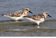 Young Sandpipers