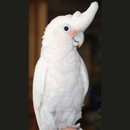 Goffin's Cockatoo Parrot - Male 8 yrs old