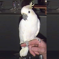 Lesser Sulfer Crested Cockatoo Parrot