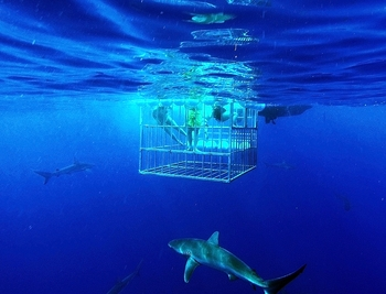H2o Adventures Hawaii Shark Diving & Shark Cage Tours
