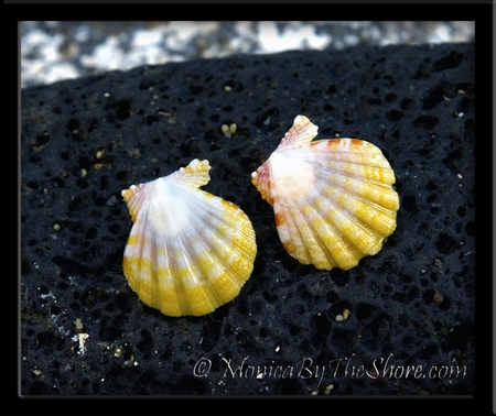 Hawaiian Sunrise Shell Post Earrings Yellow White with Orange Tiger Stripes