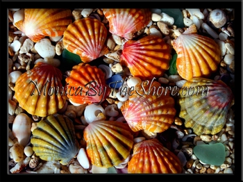 Sunrise Shells of Hawaii