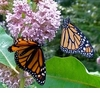 Common Milkweed Organic Seeds ~ For Attracting Butterflies