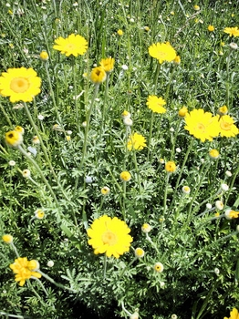 Dyer's Chamomile Seeds