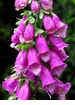 Foxglove - Digitalis Purpurea Organic Seeds