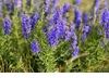 Hyssop, Official Seeds - Organic