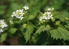 Nettles, Stinging Seeds - Organic