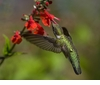 Scarlet Sage Organic Seeds ~ For Attracting Butterflies + Hummingbirds