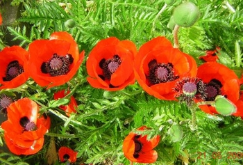 Turkish Red Poppy Seeds