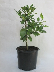 Lisbon Lemon Tree 3 gal